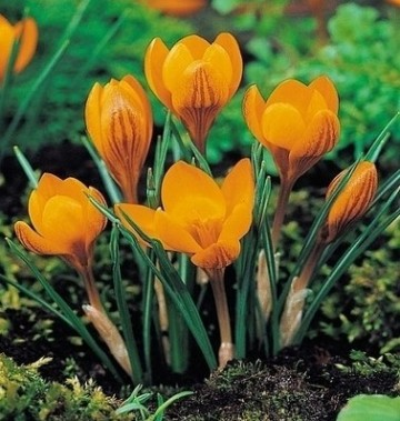 Poze Crocus Orange Monarch (set 5 buc.)