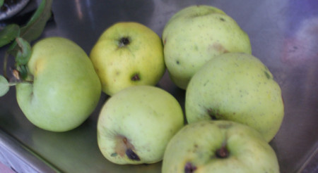 Poze Măr Botane