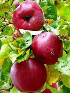 Poze Măr cu aromă de zmeură
