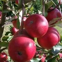 Poze Măr Lampart