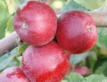Poze Măr Red Cortland