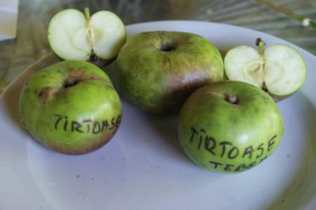 Poze Măr Târtoase