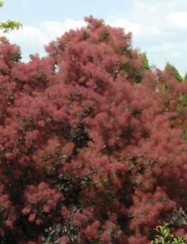 Poze Scumpie Rubrifolius (Cotinus coggygria Rubrifolius)