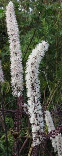 Poze Actaea simplex Brunette