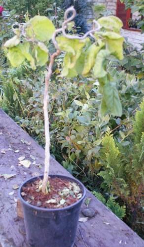 Poze Alun creț Contorta (Corylus avellana Contorta)