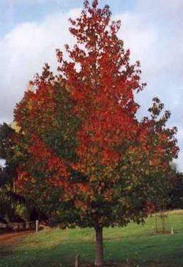 Poze Arbore de gumă (Liquidambar styriciflua)