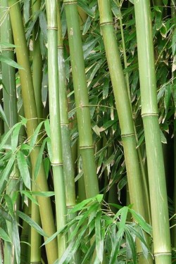 Poze Bambus