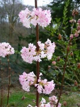 Poze Călin de iarna (Viburnum bodnantense Dawn)