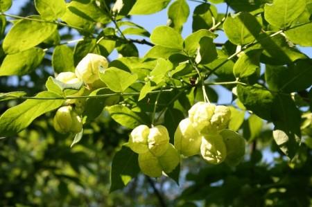 Poze Clocotiș - Staphylea pinnata
