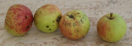 Poze Măr Orădești