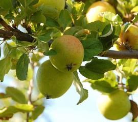 Poze Măr Renet Ananas
