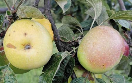 Poze Măr Trauben (strugurel)