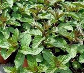 Poze Mentă piperita/izmă bună (Mentha piperita Peppermint)