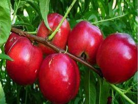 Poze Nectarin Andosa