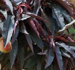 Poze Piersic pitic cu frunze roșii