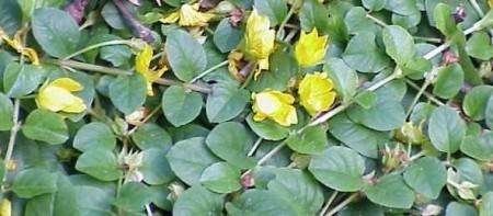 Poze Gălbioară (Lysimachia nummularia) (set 2 buc.)