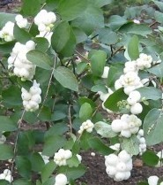 Poze Hurmuz White Hedge (Symphoricarpos × doorenbosii White Hedge)