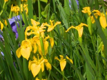 Poze Iris sălbatic de baltă
