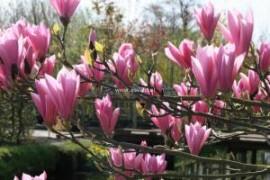 Poze Magnolie Heaven Scent