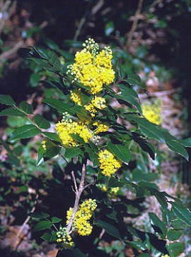 Poze Mahonia Apollo