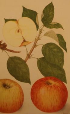 Poze Măr Creţesc roșu