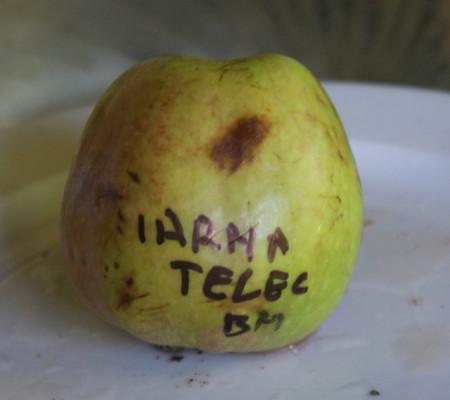 Poze Măr de iarnă Teleac