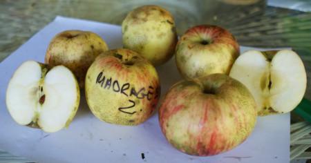 Poze Măr dungat de Mădrigești
