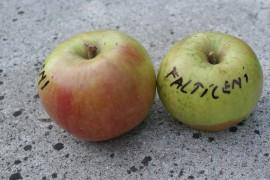 Poze Măr Fălticeni