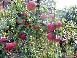 Poze Măr Frumos de Voinesti