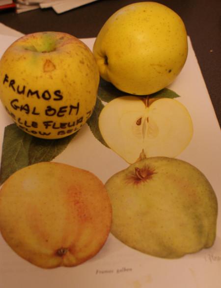 Poze Măr Frumos galben