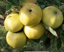 Poze Măr London Pepping