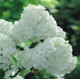 Poze Phlox alb