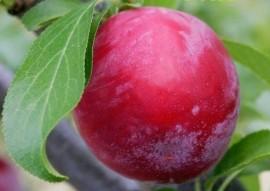 Poze Prun Nectarină roșie