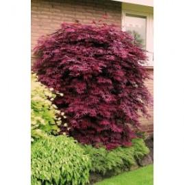 Poze Arţar japonez roşu (Acer palmatum 'Atropurpureum')