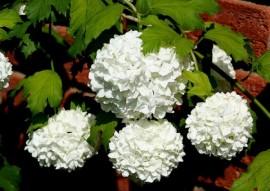 Poze Călin Roseum (Viburnum opulus Roseum)