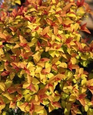 Poze Cununiță Goldflame (Spiraea japonica)