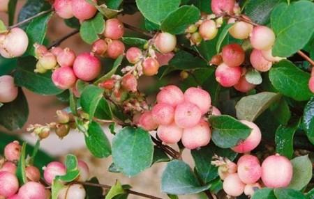 Poze Hurmuz roz (Symphoricarpos × doorenbosii )