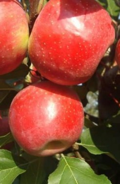 Poze Măr Ariane
