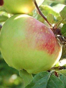 Poze Măr Boiken
