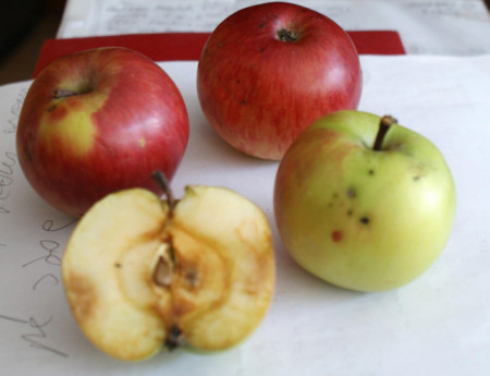 Poze Măr de iarnă Ovidiu