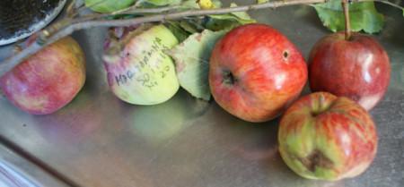 Poze Măr toamnă parfumat Șoimuș