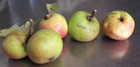 Poze Măr Vanilie (Bomboane)
