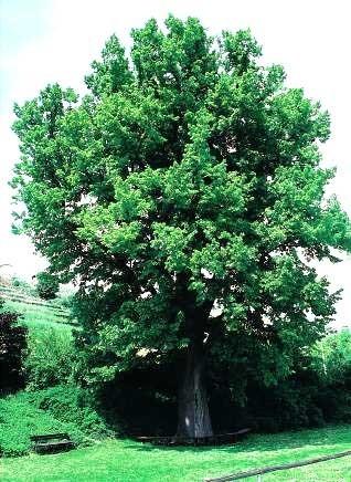 Poze Tei cu frunza mare (Tilia platyphyllos)