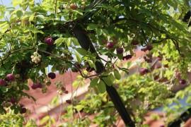 Poze Viță de ciocolată (Akebia quinata)