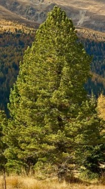 Poze Zâmbru (Pinus cembra)