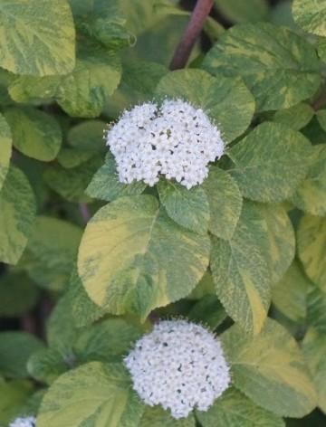 Poze Călin Aureovariegata (viburnum lantana)