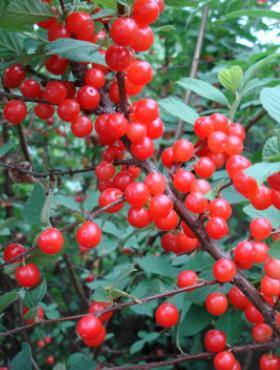 Poze Cireș Nanking (Prunus tomentosa) specia Red Ninja