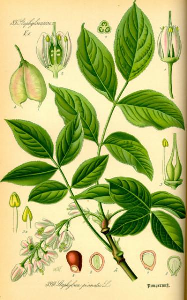 Poze Clocotiș (an 4)- Staphylea pinnata