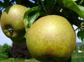 Poze Măr Frumos de Boskoop