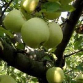Poze Măr Olive Yellow